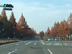 精華大通りのメタセコイア並木